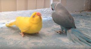Потрясающе! Попугай своим танцем делает предложение возлюбленной