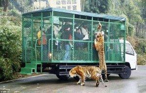 Сенсация! В китайском зоопарке посетителей помещают в клетку...